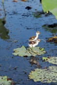 comb-crested-jacana-picture;comb-crested-jacana;comb-crested-jacana;jacana;irediparra-gallinacea;aus