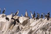 black-faced-cormorant-picture;black-faced-cormorant;black-faced-cormorant;phalacrocorax-fuscescens;b