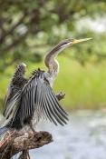 darter-picture;darter;anhinga-melanogaster;anhinga;darter-drying-wings;darter-wings;bird-wings;bird-