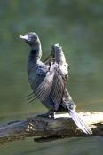 little-black-cormorant-picture;little-black-cormorant;phalacrocorax-sulcirostris;black-cormorant;aus