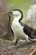 little-pied-cormorant-picture;little-pied-cormorant;little-pied-cormorant;cormorant;little-pied-corm