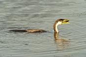 juvenile-little-pied-cormorant-picture;juvenile-little-pied-cormorant;little-pied-cormorant;cormoran