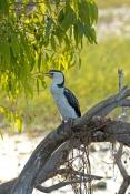 Cormorants & Darter/Anhinga