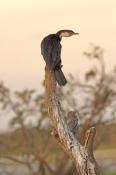 little-pied-cormorant-picture;little-pied-cormorant;juvenile-little-pied-cormorant;cormorant;little-