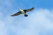 pied-cormorant-picture;pied-cormorant;cormorant;phalcrococorax-varius;cormorant-flying;cormorant-in-