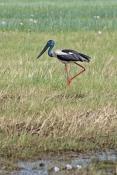 black-necked-stork-picture;black-necked-stork-picture;black-necked-stork;black-necked-stork;jabiru;a
