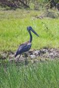 black-necked-stork-picture;black-necked-stork-picture;black-necked-stork;black-necked-stork;jabiru;b