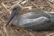 black-necked-stork-picture;black-necked-stork;black-necked-stork;black-neck-stork;jabiru;black-necke