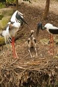 black-necked-stork-picture;black-necked-stork;black-necked-stork;black-neck-stork;jabiru;ephippiorhy