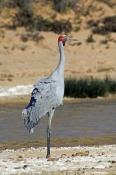 brolga-picture;brolga;grus-rubicunda;brolga-walking;brolga-standing;big-bird;tall-bird;mungeranie;mu