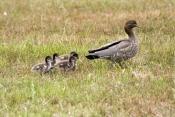 australian-wood-duck-picture;australian-wood-duck;maned-duck;chenonetta-jubata;wood-duck-ducklings;w