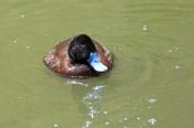 blue-billed-duck-picture;blue-billed-duck;blue-billed-duck;male-blue-billed-duck;blue-billed-male;bl