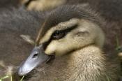 pacific-black-duck-picture;pacific-black-duck;pacific-black-duck-ducking-pacific-black-ducking;duckl