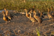 plumed-whistling-duck-picture;plumed-whistling-duck;plumed-whistling-ducks;plumed-whistling-duck-cam