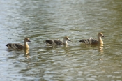 plumed-whistling-duck-picture;plumed-whistling-duck;plumed-whistling-duck;plumed-whistling-ducks;plu