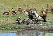 radjah-shelduck-picture;radjah-shellduck;burdekin-duck-picture;burdekin-duck;tadorna-radjah;radjah-s