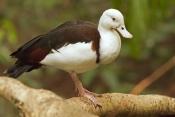 radjah-shelduck-picture;radjah-shellduck;burdekin-duck-picture;burdekin-duck;tadorna-radjah;australi