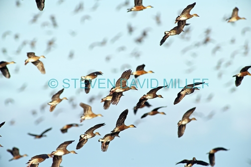 wandering whistling-ducks picture;wandering whistling-ducks;wandering whistling ducks;whistling ducks;dendrocygna arcuata;camp of whistling ducks;whistling ducks camp;parry lagoons nature reserve;marlgu billabong;ramsar wetland;ramsar wetland of international importance;wyndham;the kimberley;kimberley;western australia;australian nature reserves;australian ducks;australian endemic ducks;ducks in flight;flying ducks;birds in flight;flock of birds flying;steven david miller;natural wanders