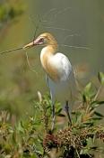 cattle-egret-picture;cattle-egret;adrea-ibis;breeding-cattle-egret;cattle-egret-with-nesting-materia