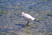 eastern-reef-egret-picture;eastern-reef-egret;egretta-sacra;ardea-sacra;eastern-reef-egret-foraging-
