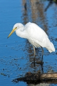 great-egret-picture;great-egret;ardea-alba;white-egret;australian-egret;great-egret-wading;great-egr