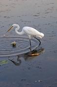 great-egret-picture;great-egret-stalking;great-egret-in-water;ardea-alba;kakadu-birds;kakadu-nationa