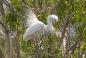 intermediate-egret-picture;intermediate-egret;ardea-intermedia;egret-breeding-plumage;egret-mating-p