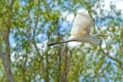 intermediate-egret-picture;intermediate-egret;intermediate-egret-in-flight;egret-in-flight;egret-fly