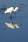 little-egret-picture;little-egret;egretta-garzetta;ardea-garzetta;egret-foraging-in-water;egret-in-w