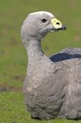 cape-barren-goose-picture;cape-barren-goose;cape-barren-geese;australian-goose;australian-geese;cere