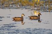 green-pygmy-goose;green-pygmy-goose;green-pygmy-geese;pygmy-geese;pair-of-green-pygmy-geese;green-py