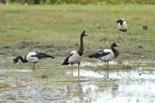 magpie-goose-picture;magpie-geese-picture;magpie-goose;magpie-geese;anseranas-semipalmata;male-magpi