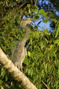 great-billed-heron-picture;great-billed-heron;great-billed-heron;Ardea-sumatrana;heron-standing-in-t
