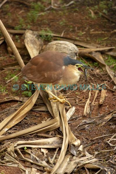bird with prey;bird eating prey