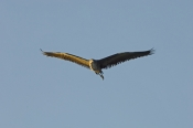 nankeen-night-heron-picture;rufous-night-heron-picture-nankeen-night-heron;rufous-night-heron;nyctic