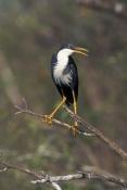 pied-heron-picture;pied-heron;pied-egret;ardea-picata;pied-heron-fishing;adult-pied-heron;parry-lago