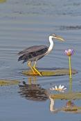 pied-heron-picture;pied-heron;pied-egret;ardea-picata;pied-heron-fishing;pied-heron-standing-in-wate