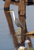 pied-heron-picture;pied-heron;pied-egret;ardea-picata;pied-heron-fishing;pied-heron-standing;adult-p