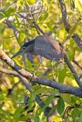 striated-heron-picture;striated-heron;mangrove-heron;butorides-striatus;australian-heron;australian-