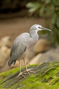 white-faced-heron-picture;white-faced-heron;white-faced-heron;egretta-novaehollandiae;ardea-novaehol