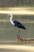 white-necked-heron-picture;white-necked-heron;white-necked-heron;pacific-heron;ardea-pacifica;heron-