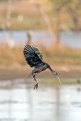 glossy-ibis-picture;glossy-ibis;plegadis-falcinellus;australian-ibis;ibis;dark-ibis;brown-ibis;ibis-