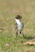 masked-lapwing-picture;masked-lapwing;vanellus-miles;lapwing;masked-lapwing-chick;lapwing-chick;bird
