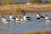 red-necked-avocet-picture;red-necked-avocet;red-necked-avocet;australian-avocet;avocet;avocets;flock