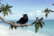 ANOUS-MINUTUS;AUSTRALIA;BEACHES;BIRDS;LANDSCAPES;NODDY-TERN;PORTRAITS;SEABIRDS;Sternidae;TERNS;TROPI