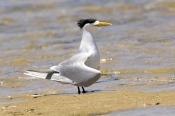 crested-tern-picture;crested-tern;crested-terns;crested-terns-standing;sterna-bergii;tern-standing-o
