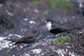 sooty-tern-picture;sooty-tern;tern;australian-tern;australian-terns;sterna-fuscata;sooty-tern-fledgl