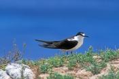 sooty-tern-picture;sooty-tern;tern;australian-tern;australian-terns;sterna-fuscata;lord-howe-island;