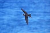 sooty-tern-picture;sooty-tern;tern;australian-tern;australian-terns;sterna-fuscata;bird-in-flight;bi