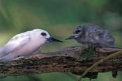 white-tern-picture;white-tern;tern;australian-tern;australian-terns;white-tern-chick;tern-chick;chic